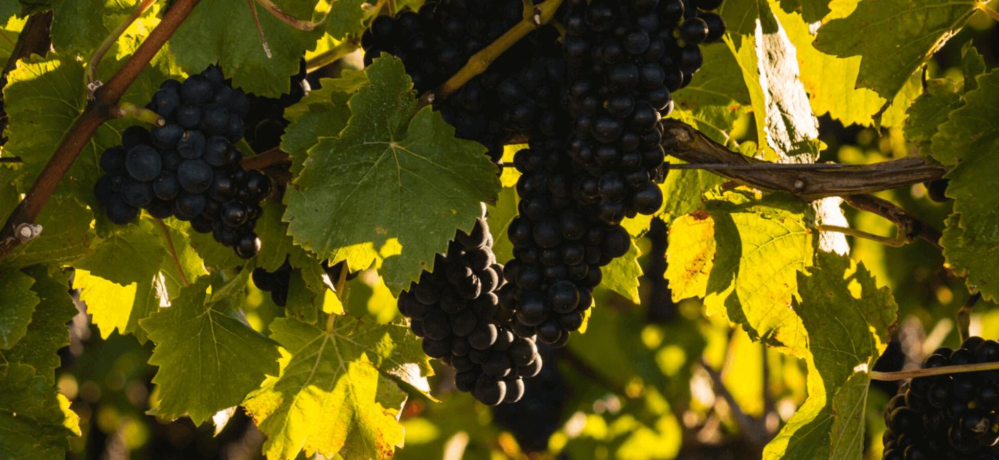 Pinot Noir/Spätburgunder